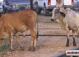 ganado-lavibrante