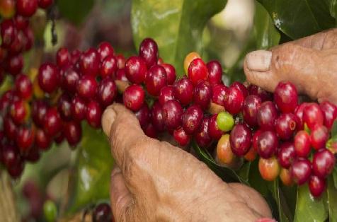 La  @FedeCafeteros hablo acerca de la producción y exportación de café