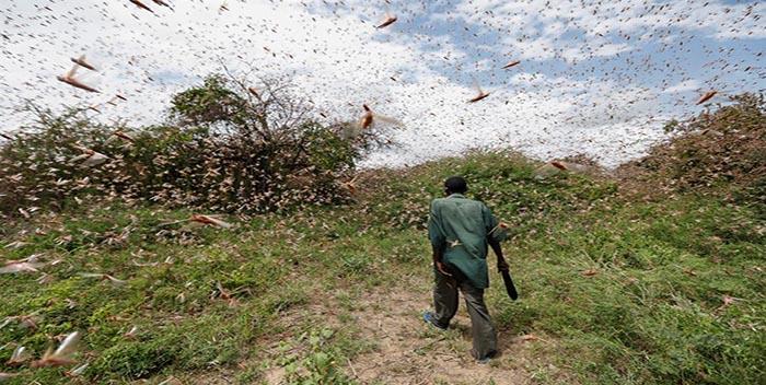ONU pide ayuda contra plaga de langostas en África