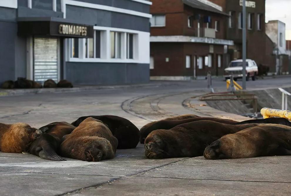 En Argentina lobos marinos se apoderaron de una ciudad en cuarentena