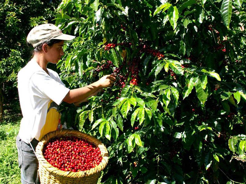 Cosecha cafetera dejará $200 mil millones y generará 10 mil empleos en el Quindío, en época de pandemia