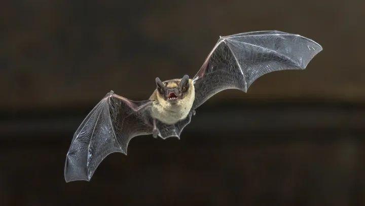 Científicos detectan un virus letal en dos especies de murciélagos en la India